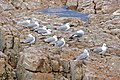 Hartlaub's Gulls (Chroicocephalus hartlaubii) (32046149713).jpg
