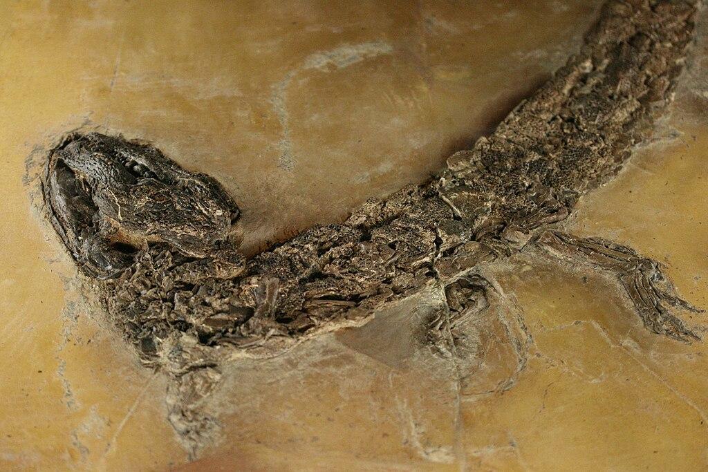 Hassiacosuchus haupti