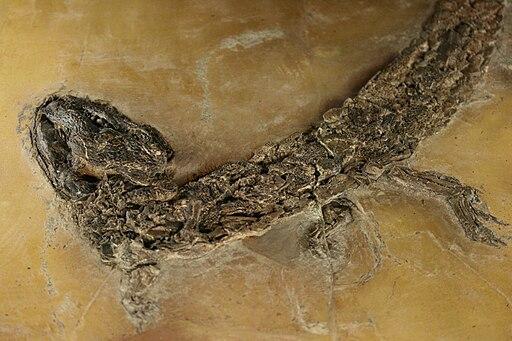 Grube Messel: Hassiacosuchus haupti