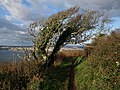 Hawthorn on the coast path - geograph.org.uk - 1580160.jpg