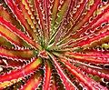 Hechtia texensis 2.jpg