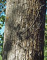 Hedera helix 20110816a.jpg