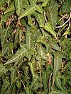 Hedera nepalensis BotGardBln1105a
