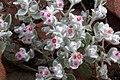 Helichrysum gariepinum fleurs MHNT.jpg
