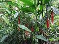 Heliconia rostrata in Laos.jpg