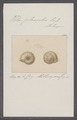Helix planorbis - - Print - Iconographia Zoologica - Special Collections University of Amsterdam - UBAINV0274 089 01 0004.tif