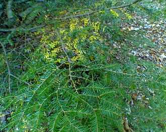 Tsuga canadensis - Hemlock boughs in the autumn, shedding older foliage.