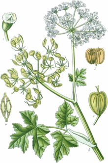 Heracleum sphondylium (Thomé Bd.3 1905, BHL-81509, Tafel 451) clean, no-description.png