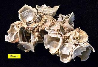 Hercosestria - Hercosestria cribrosa (multiple individuals)