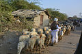 Herding sheep back to village.jpg