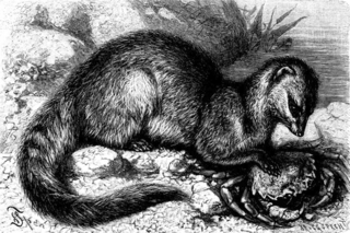 Crab-eating mongoose species of mammal