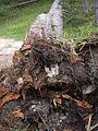 Heterobasidion annosum on Pinus mugo 1.JPG