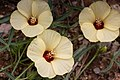 Hibiscus palmatus-2427 - Flickr - Ragnhild & Neil Crawford.jpg