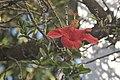 Hibiscus rosa-sinensis-2206.jpg