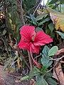 Hibiscus rosa-sinensis k61.jpg