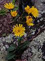 Hieracium venosum - Rattlesnake weed 2.jpg