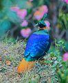 Himalayan Monal, Male (28466143101).jpg