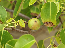 A spherical, green and brown, apple-like fruit on a tree.
