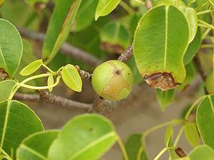 Manchineel - Fruit and foliage