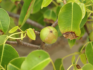 Manchineel Poisonous plant from tropical North and South America