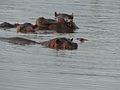 Hippos (Hippopotamus amphibius) (11451495504).jpg