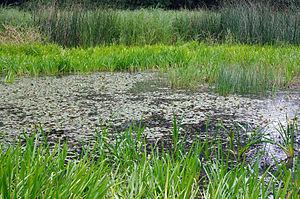 Hirudo medicinalis - Typical habitat with a large population of Hirudo medicinalis, in Germany