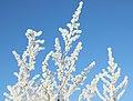 Hoar frost Изморозь 09.jpg