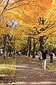 Hokkaido university - ginkgo 北大の銀杏 - panoramio.jpg