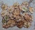 Holoptelea integrifolia seeds (1).jpg