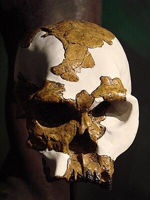 OH 24 - Image: Homo habilis skull (University of Zurich) 1