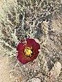 Honeybee Covered in Pollen in a Cholla Flower.jpg