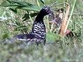 Horned Screamer Anhima cornuta (27324529099).jpg