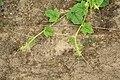 Horngurke - Kiwano - Cucumis metuliferus im Folienhaus, kletternd 09 ies.jpg
