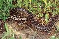 Horseshoe Whip Snake (Hemorrhois hippocrepis) (found by Jean NICOLAS) (36626415995).jpg