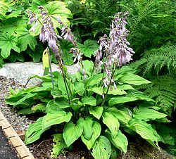 Hosta fortunei 'Picta'