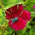 Housefly on Sweet William Plant 163456.jpg