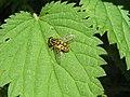 Hover-fly (Helophilus Pendulus) (3262991626).jpg