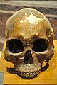 Human Skull - 2600-1700 BCE - Mohenjo-Daro - Indian Museum - Kolkata 2014-04-04 4489.JPG