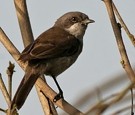 Hume's Lesser Whitethroat (Sylvia althaea) W IMG 6293.jpg