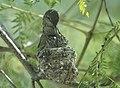 Hummingbird Nest (25135177244).jpg