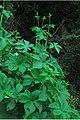 Humulus japonicus plant.jpg