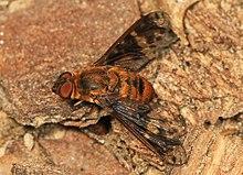 Huron Shore Bee Fly - Dipalta Banksi, Soldatenfreude, Owings Mills, Maryland - 24393962290.jpg