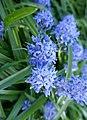 Hyacinthoides italica in Jardin des Plantes 02.jpg