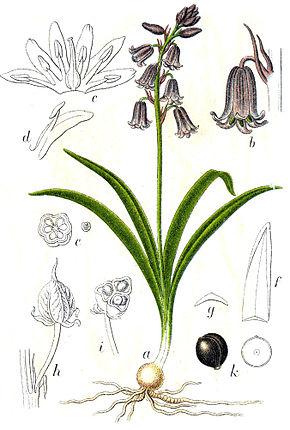bulbe jacinthe des bois