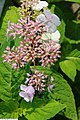 Hydrangea macrophylla Coerulea Lace 1zz.jpg