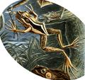 Hylarana erythraea Haeckel.png