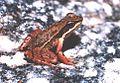 Hylodes phyllodes01.jpg