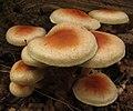Hypholoma lateritium (Schaeffer) P. Kummer 269194.jpg