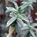 IMG 0438-Salvia leucophylla.jpg