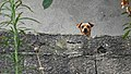 I am watching you dog (26319290699).jpg